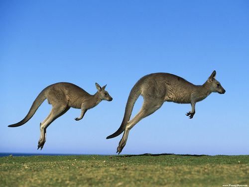 Funny and cute kangaroos kangaroo picture 32 funnypica.com
